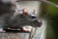 Des rats attaquent une adolescence dans le nord de la France